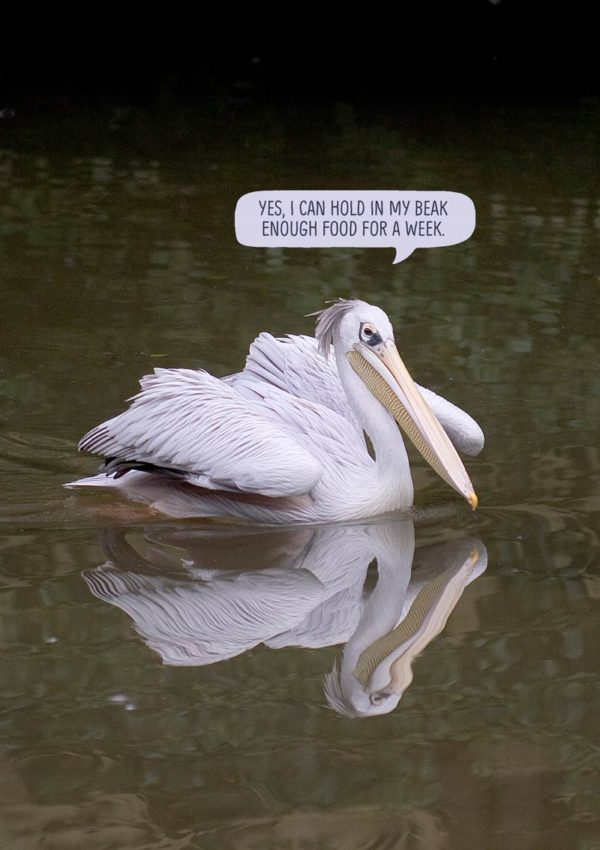 Pelican with speech bubble that reads 'Yes, I can hold in my beak enough food for a week.'