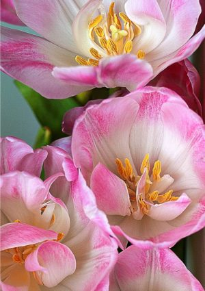 pink tulips greeting card - a view of the stamens and pistils inside a bunch of pink tulips