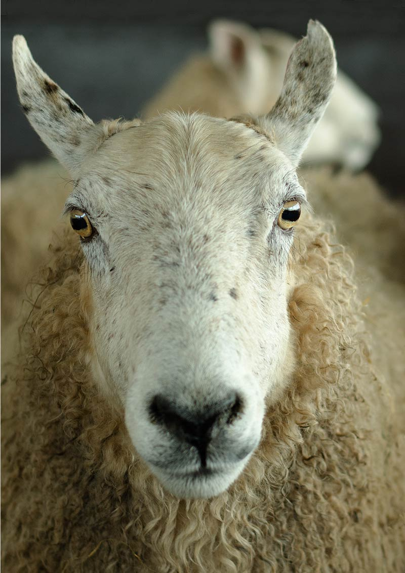 Advice for artists submitting artwork to greeting card companies illustrated with a photograph of a panting ewe in labour.