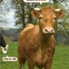 cow saying congratulations