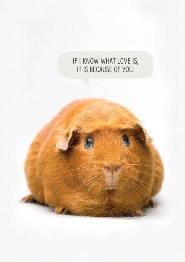 Because Greeting Card with a guinea pig and a speech bubble with text 'If I know what love is, it is because of you.'
