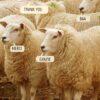 Sheep saying thank you in English, Italian, French, and Sheepish - Baa