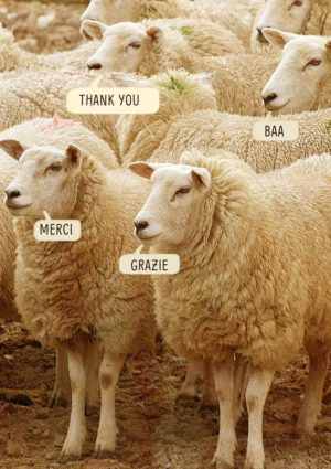 Sheep saying thank you in English, Italian, French, and Sheepish - Baa