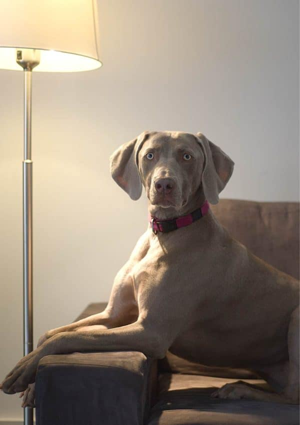 A Weimaraner Greeting Card for every day featuring a Weimaraner on a settee, lit by a standard lamp.
