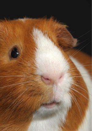 A Whiskers greeting card for every day featuring a close-up of a guinea pig with butterscotch and white colouring, pink nose, and whiskers!