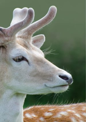Fallow Deer Greeting Card - A close up of a Fallow Deer with spotted back and velvet-covered antlers