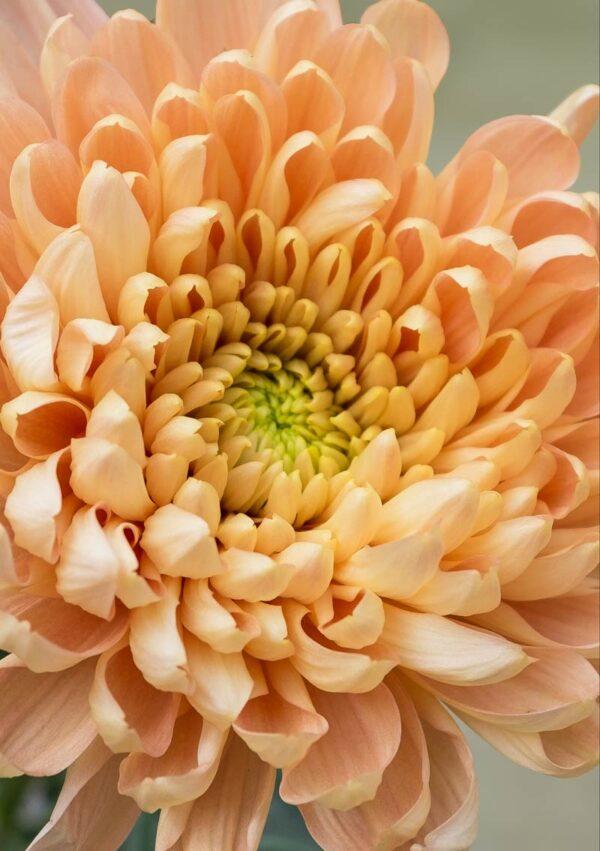 Chrysanthemum Greeting Card featuring a salmon-coloured chrysanthemum flower