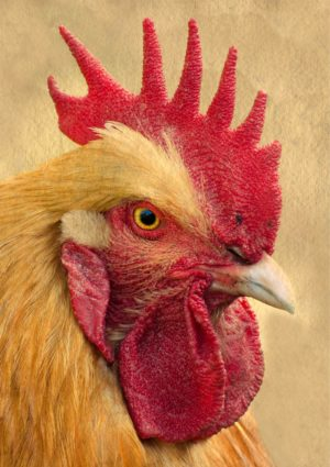 A Rocking Rooster Greeting Card for every day featuring a rocking rooster or cockerel that looks you right in the eye and grabs your attention. Look at that comb. Look at the very redness of it.