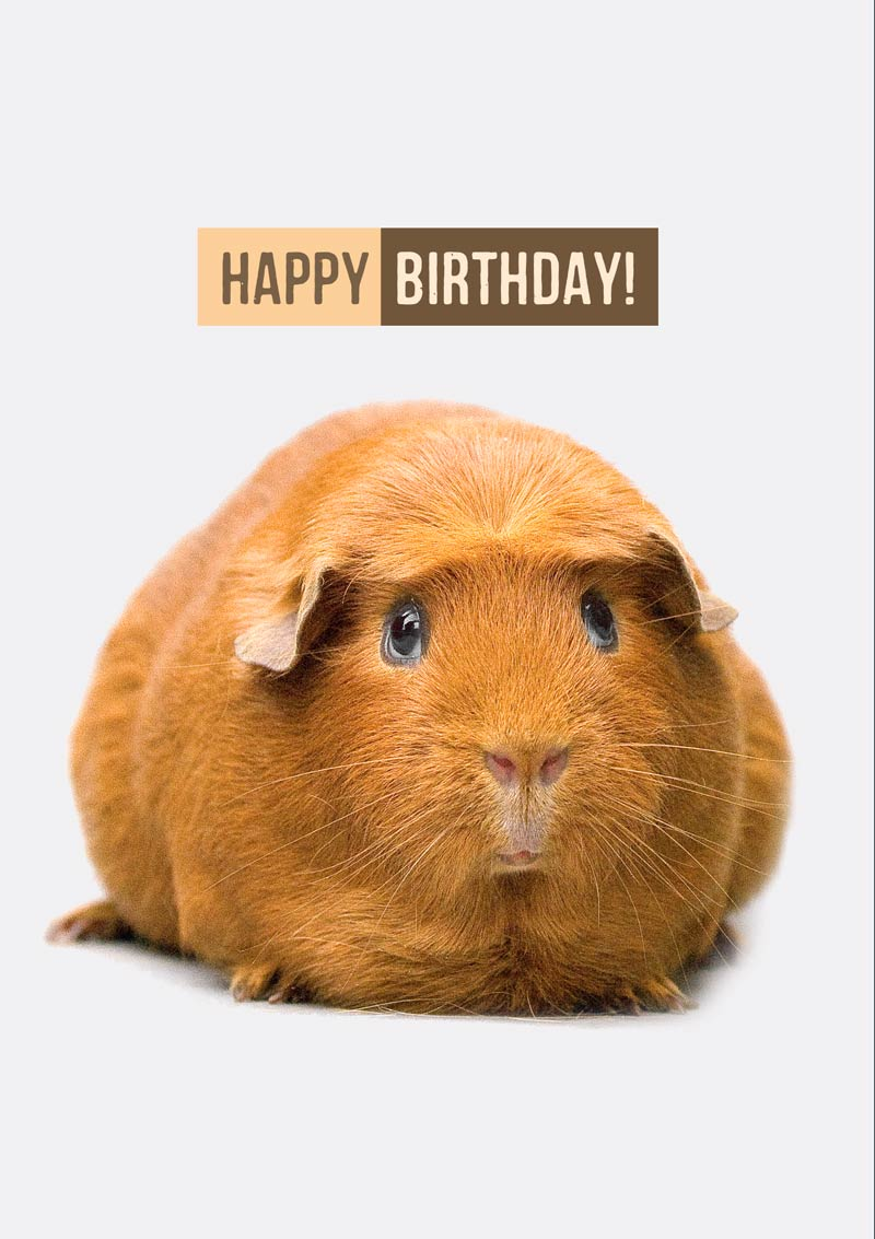 Set Of Guinea Pig Cards