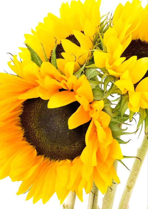 Sunflowers greeting card for every day featuring a close up of sunflowers - endless fields of sunflowers in the South of France.