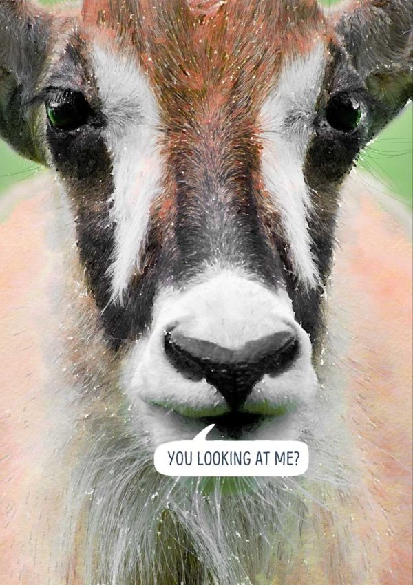 A full-face view of a Roan antelope and speech bubble and text 'You Looking At Me?'