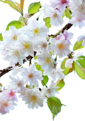 A petals greeting card for every day featuring cherry blossoms with white and pink petals set against pale yellow-green leaves