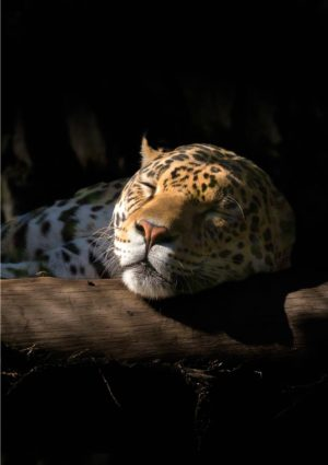 A jaguar greeting card for every day featuring a jaguar taking a nap with its head resting on a log.