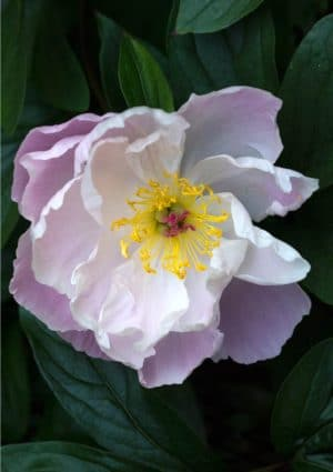 Peony greeting card - A pink and white peony with yellow stamens set against dark green leaves.