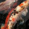 A Koi Carp greeting card for every day featuring two koi carp.
