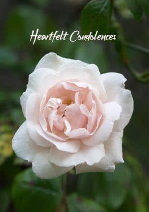 A rose pink and white rose set against dark green foliage and text 'Heartfelt Condolences'