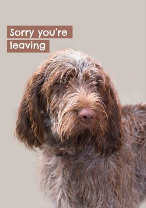 Spinone dog with text 'Sorry you're leaving'