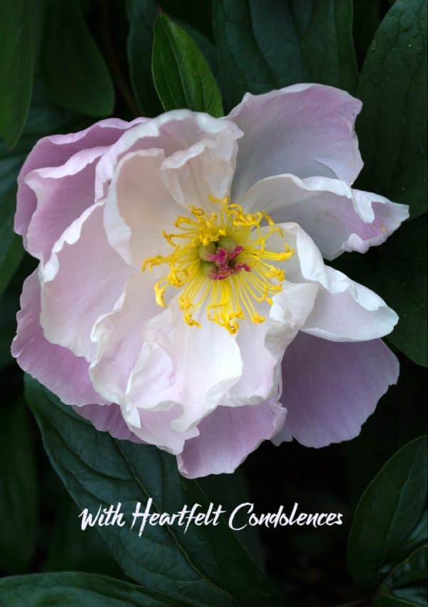 A peony with pink petals set against dark green leaves with text 'With Heartfelt Condolences'