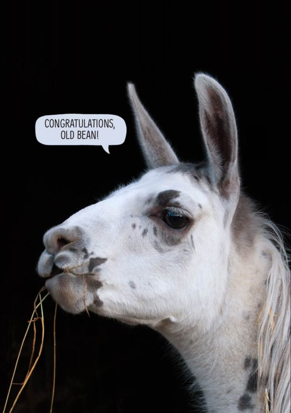 A llama with straw hanging from its mouth and its ears pointing upwards, with a speech bubble and text 'Congratulations Old Bean'