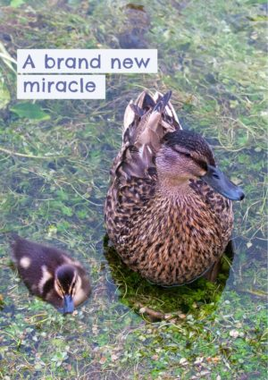 A female mallard and a young duckling on the water and text 'A Brand New Miracle'