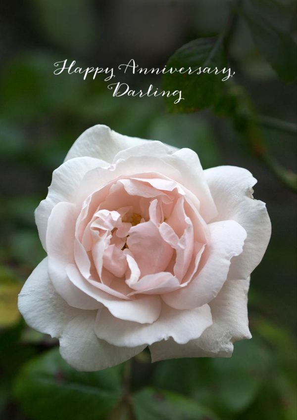 A pale pink rose and text 'Happy Anniversary, Darling'