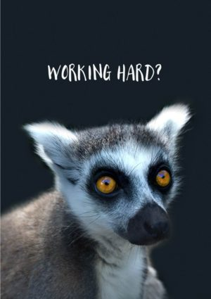 A ring-tailed lemur with big yellow eyes and text 'Working Hard'