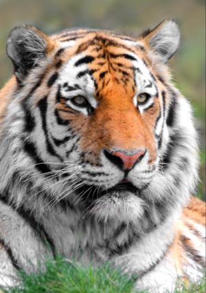 A close-up photograph of the head and shoulders of a Siberian Tiger.