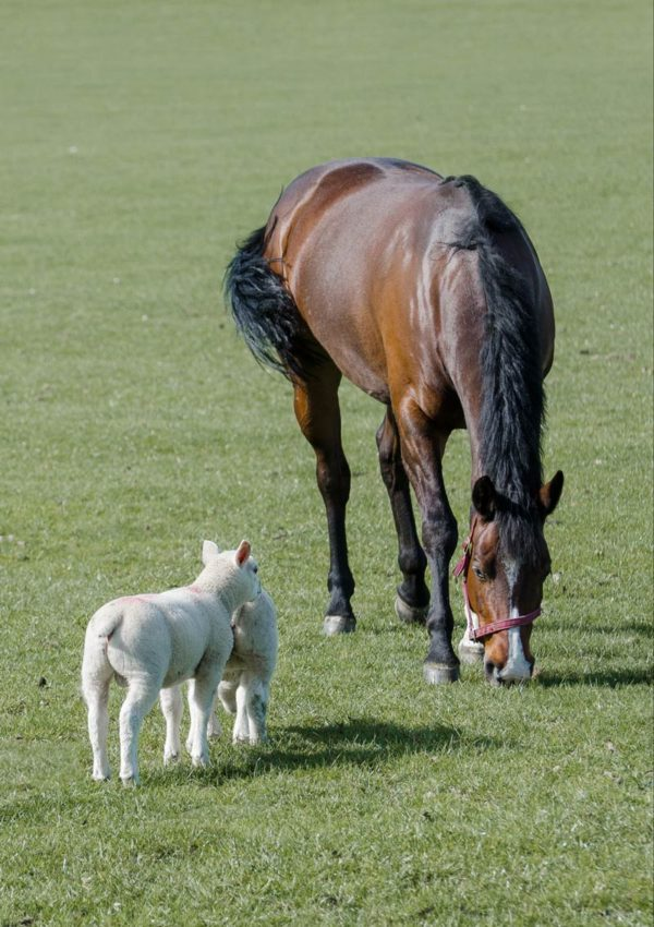Two lambs in a field meeting a horse grazing