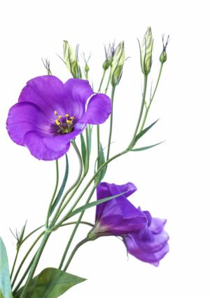 A eustoma greeting card featuring the flower also known as a Lisianthus