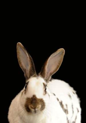 poster showing a rabbit with big ears,  facing the camera  and set against a black background