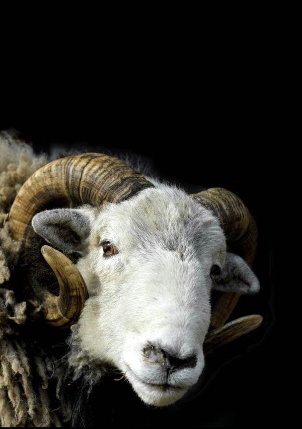 The Herdwick Ram