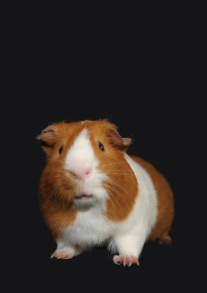 A guinea pig looking at the camera