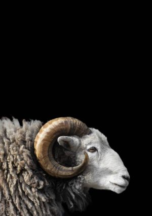 Herdwick ram golden horns poster illustrating the history of sheep breeding in Britain