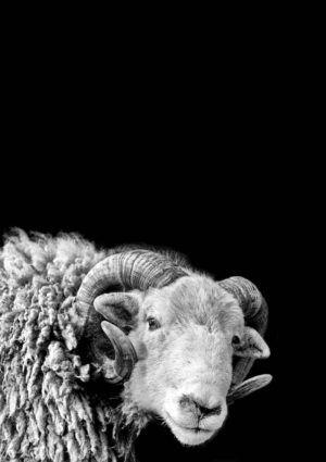Herdwick ram side view in black and white