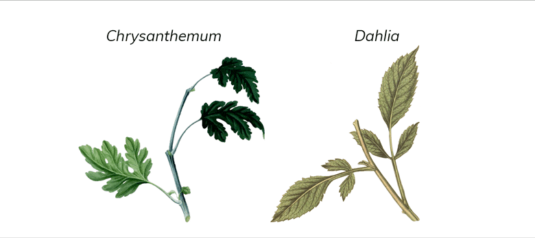 Chrysanthemum and Dahlia leaves side by side for comparison