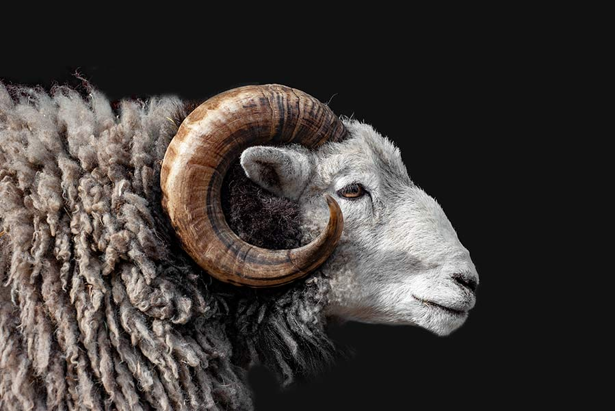 Advice for artists submitting artwork to greeting card companies illustrated with a photograph of a Herdwick ram in profile