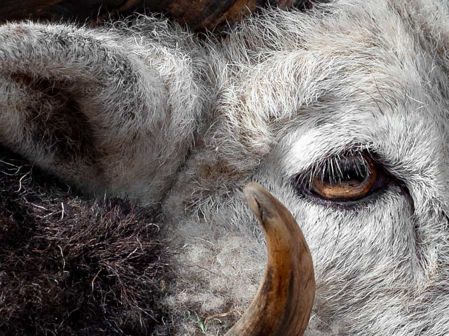 Advice for artists submitting artwork to greeting card companies illustrated with a high-resolution crop of a photo of a Herdwick ram in profile.