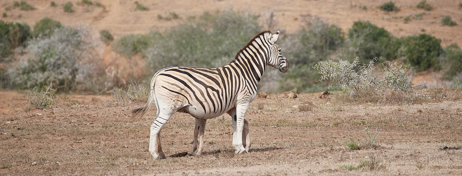 dazzle camouflage a zebra and its young showing the long-legged young that helps it hide behind its parent