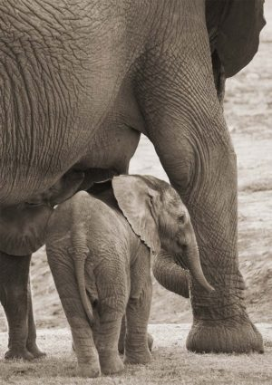 World Environment Day illustrated with a young elephant looking out from the safety of its mother's protective body