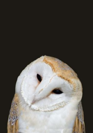 Barn owl poster with barn owl facing camera with head tilted to one side