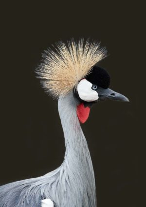 Grey Crowned Crane Poster featuring the crane in profile