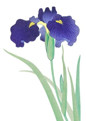 Iris poster featuring purple iris with sword-shaped leaves