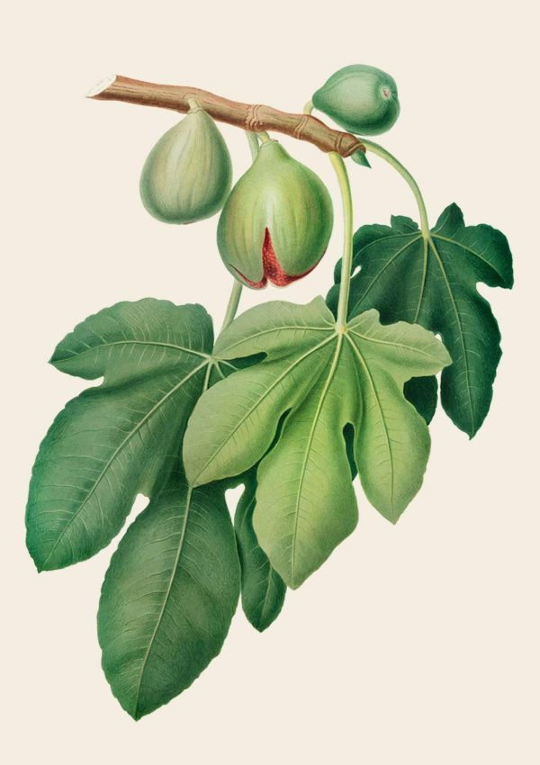 Fig Poster with fig fruit and leaves