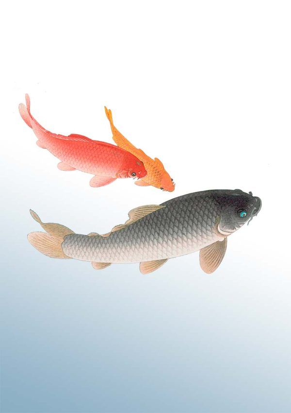 Swimming fish poster shows three koi carp lazy in the water, seen from above