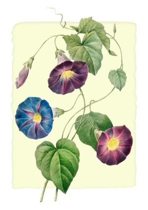 Morning Glory poster with flowers in red and blue, from an illustration in 1827